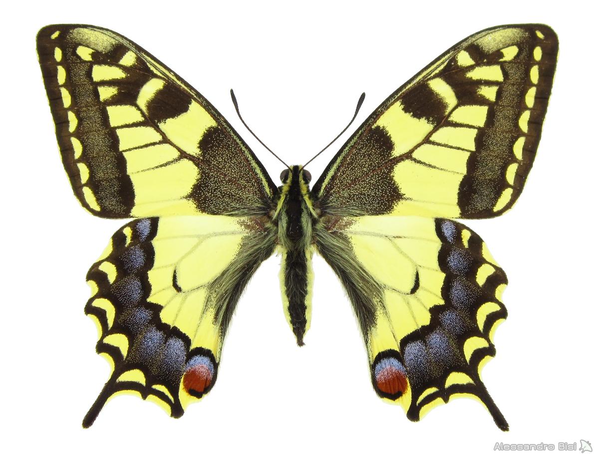 ♀ ex larva - Piemonte, Langhe, Pezzolo Valle Uzzone (CN), 350 m, 27.V.1953, leg. et coll. E. Gallo