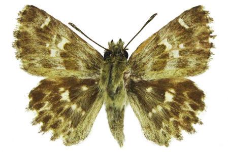 Carcharodus baeticus