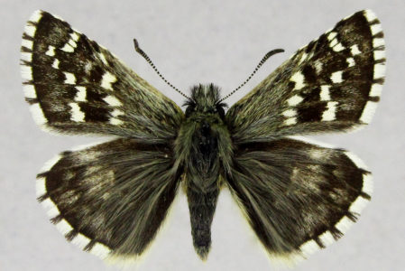 Pyrgus andromedae