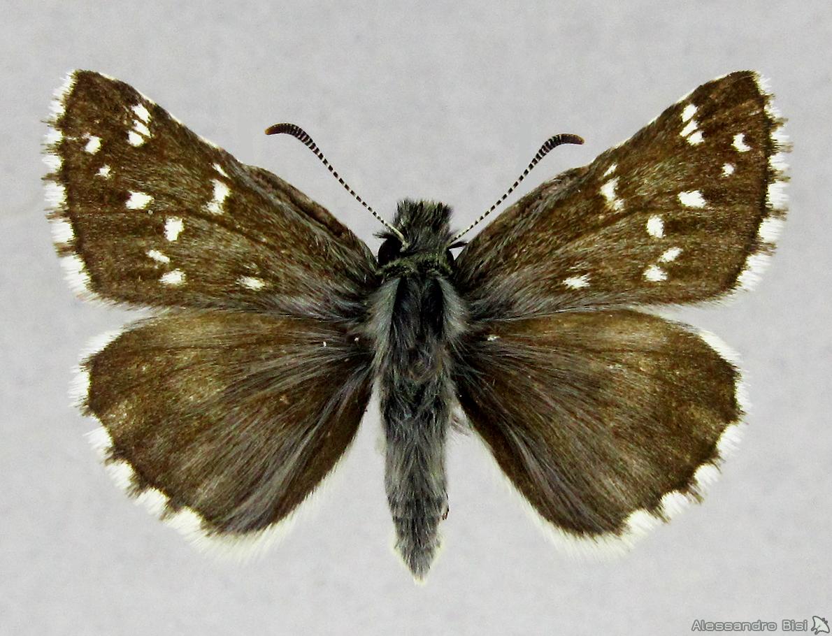 Pyrgus cacaliae
