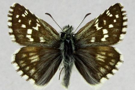 Pyrgus serratulae