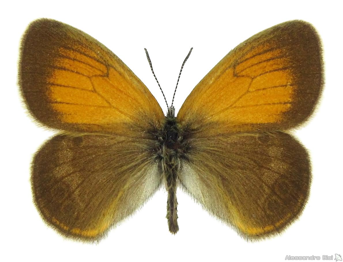 Coenonympha darwiniana