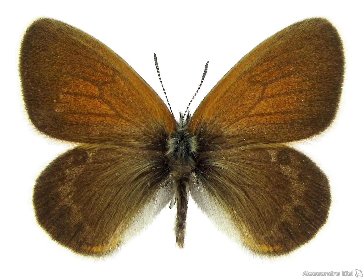 Coenonympha gardetta