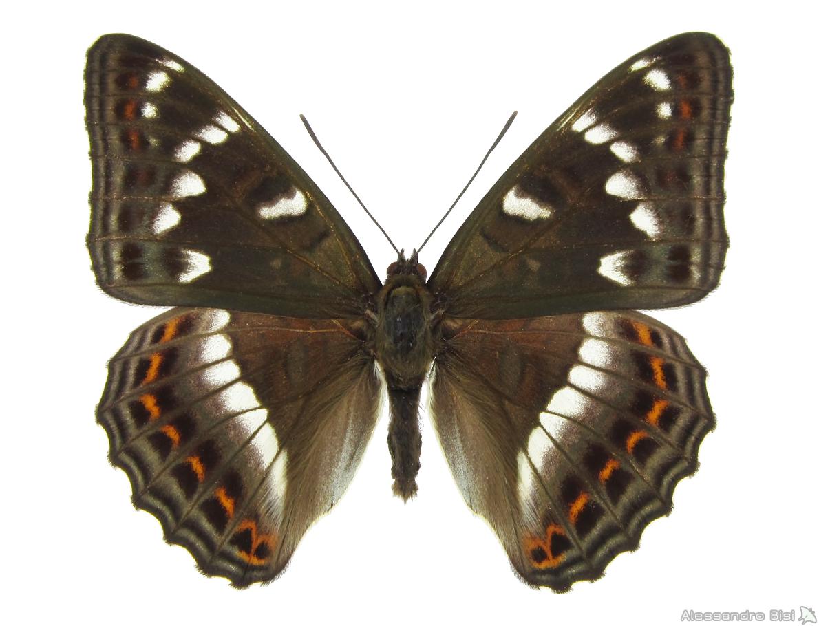 ♂ ex larva - Veneto, Alpago (BL), 3.V.2003 - leg. B. Costella, coll. M. Lupi