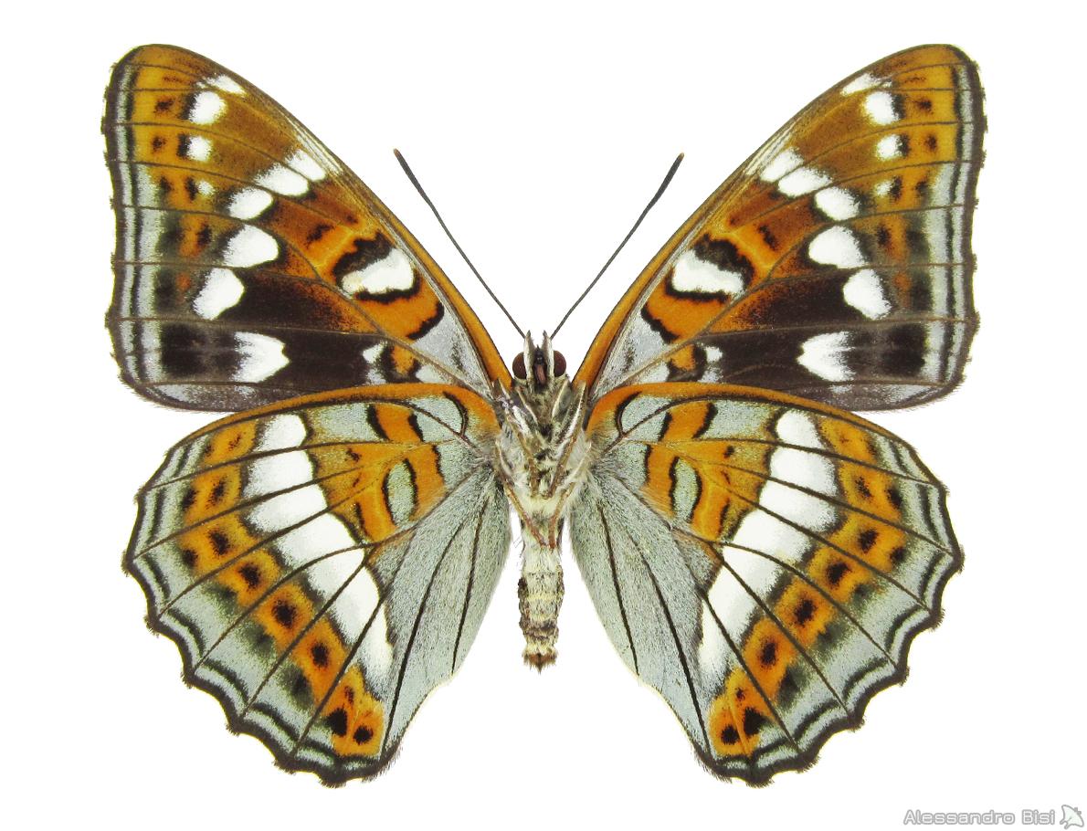 ♂▲ ex larva - Veneto, Alpago (BL), 3.V.2003 - leg. B. Costella, coll. M. Lupi