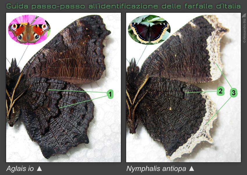 Guida passo-passo all'identificazione delle farfalle d'Italia: Vanesse