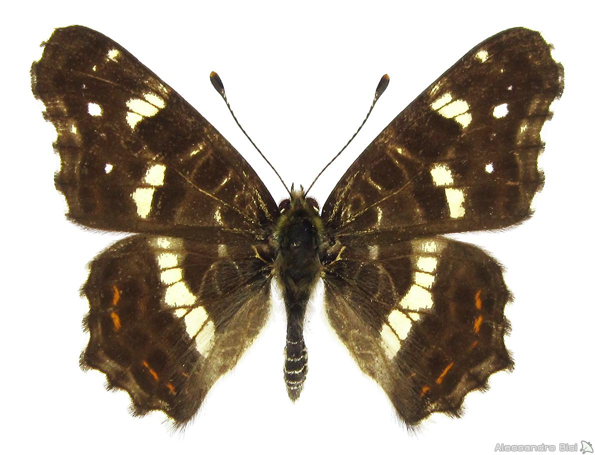 ♂ II. gen. (f. porosa), ex larva - Friuli V. Giulia, Tarvisiano (UD), 25.VIII.1999 - leg. B. Costella, coll. M. Lupi