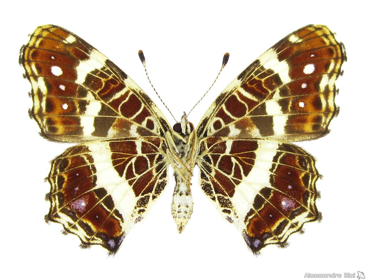 ♀ II. gen. (f. porosa), ex larva - Friuli V. Giulia, Tarvisiano (UD), 25.VIII.1999 - leg. B. Costella, coll. M. Lupi