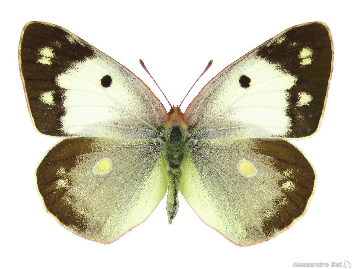 ♀ f. helice - Piemonte, Langhe, Pezzolo Valle Uzzone (CN), 350 m, 24.VIII.1988 - leg. et coll. E. Gallo