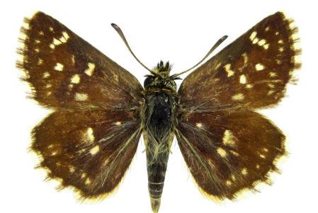 Spialia orbifer