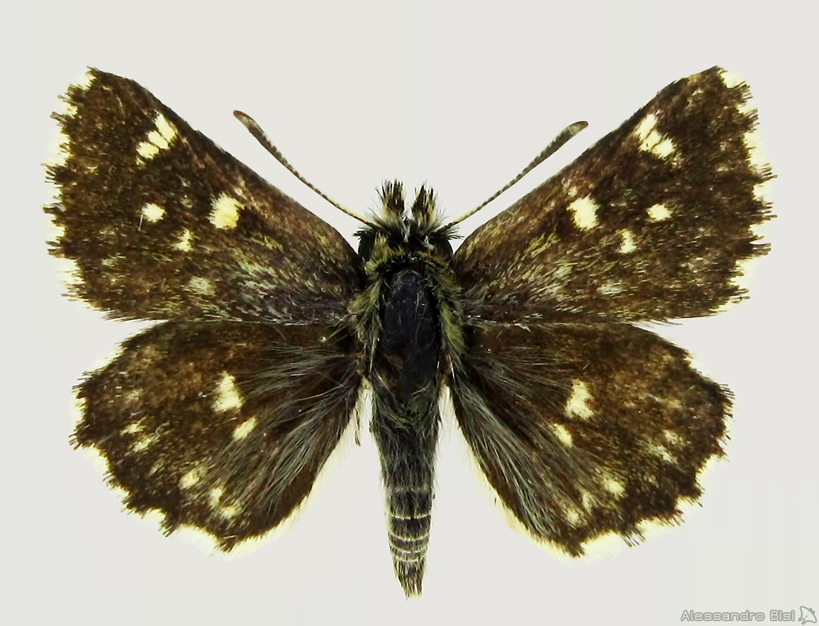 ♂ - Sardegna, Mt. Limbara, vers. occidentale (SS), 900-1000 m, 6.VI.2010, leg. et coll. E. Gallo