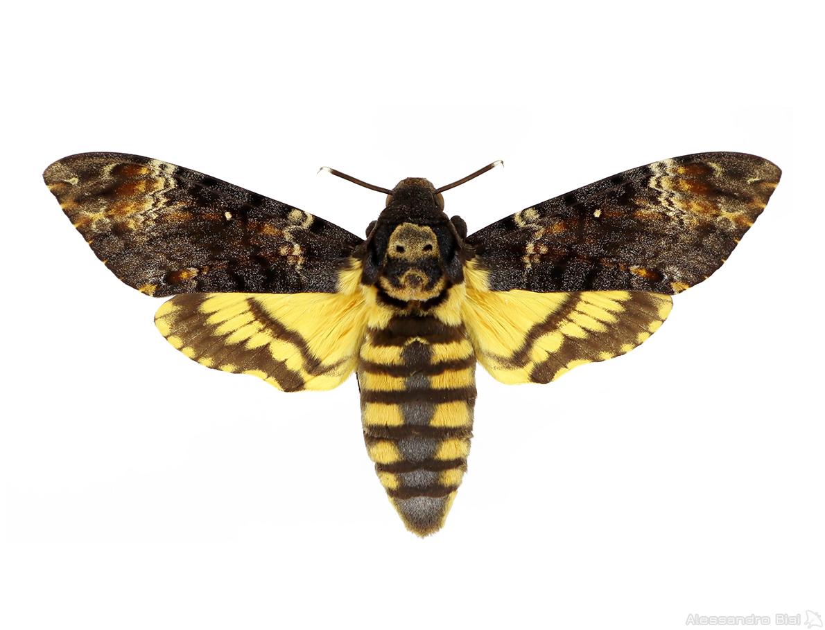♀ ex larva – Piemonte, Langhe, Pezzolo Valle Uzzone (CN), 321 m, 8.IX.1957 – leg. et coll. E. Gallo