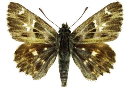 Carcharodus flocciferus