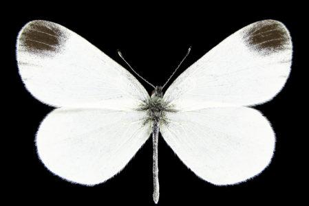 Leptidea juvernica
