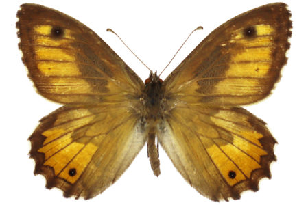 Hipparchia aristaeus