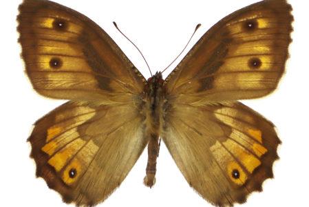 Hipparchia semele