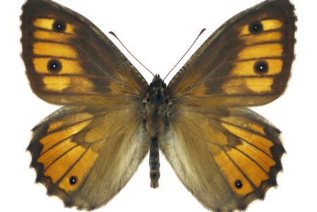 Hipparchia senthes