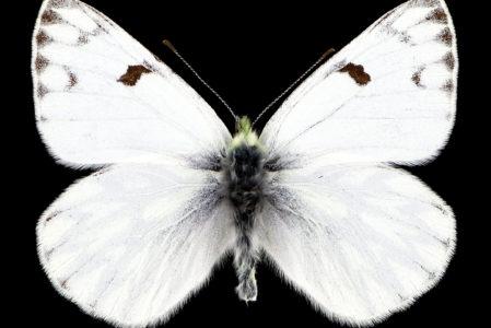 Pontia callidice