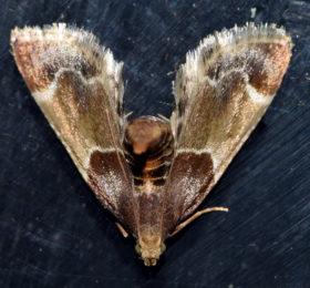 Pyralis farinalis