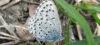 Pseudophilotes baton