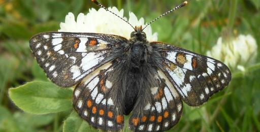 Euphydryas-cynthia_PIE-CN_AlpiCoziemerid-ColleFauniera-2450m_9_VII_2015_fotoEnricoGallo_id1802