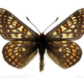 Euphydryas glaciegenita