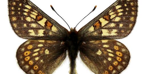 Euphydryas-glaciegenita_PIE-VB_AlpiCentrali-ValFormazza-RifMLuisa-2200m_11_VII_1970_legetcoll-EGallo_id1471