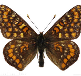 Euphydryas intermedia