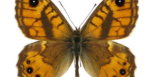 Lasiommata-paramegaera_SAR-NU_MtiGennargentu-CantPiraeOnni-872m_19_V_2003_legetcoll-EGallo_id1376