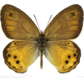 Coenonympha dorus