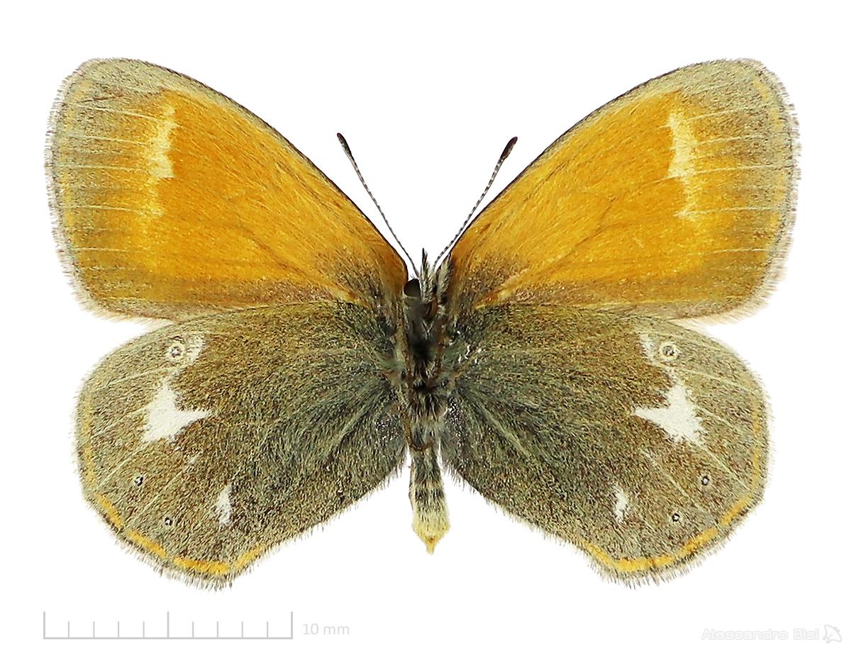 Coenonympha glycerion