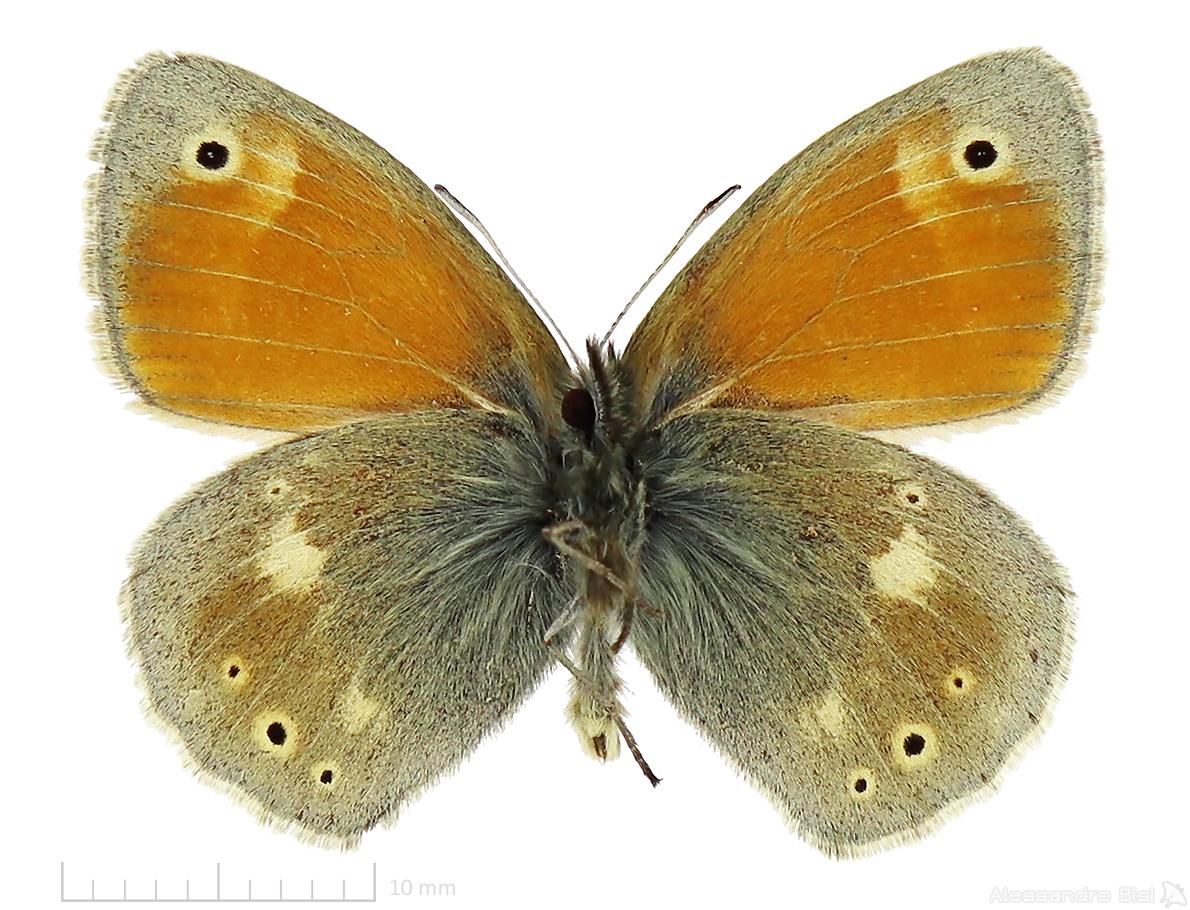 Coenonympha rhodopensis