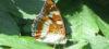 Limenitis populi