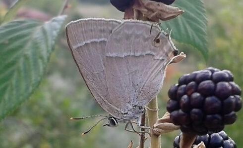 Favonius quercus