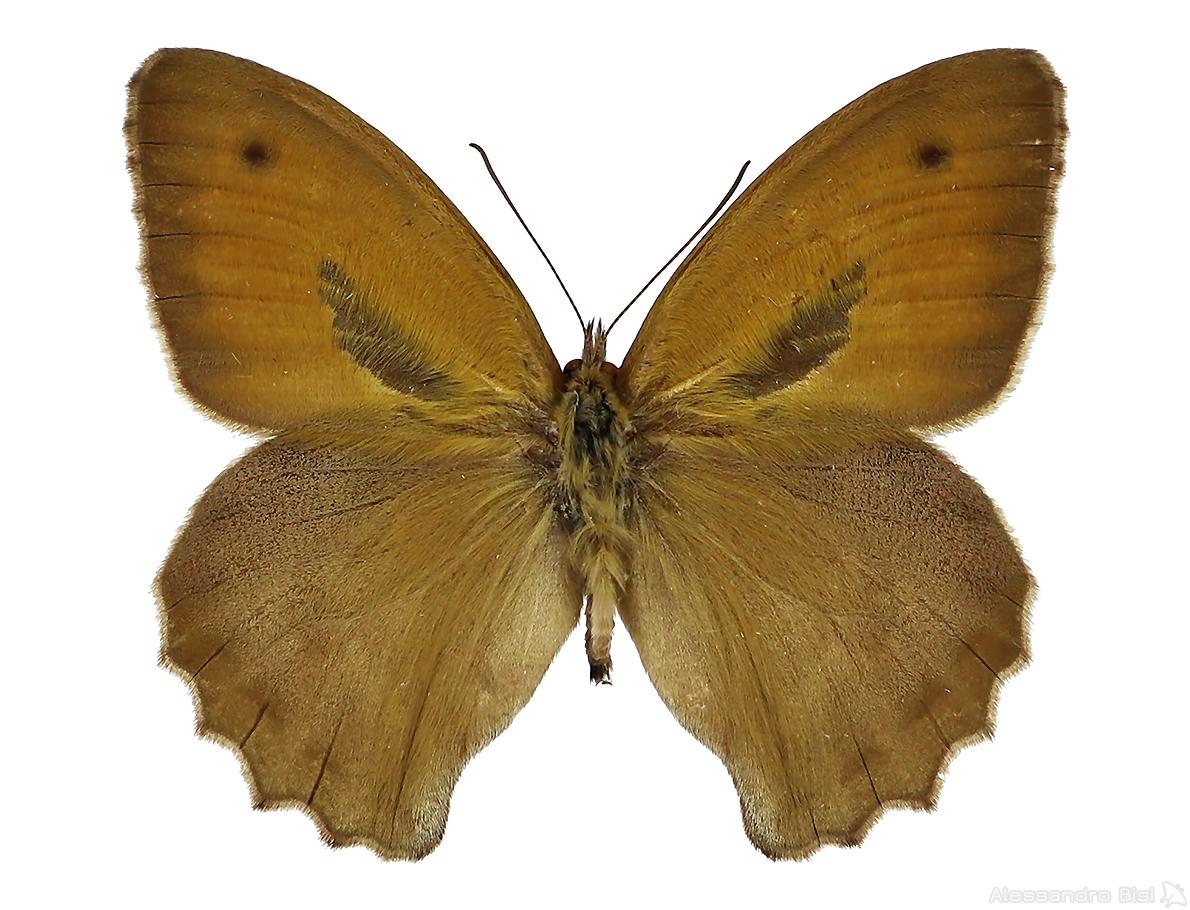 Hyponephele lupina