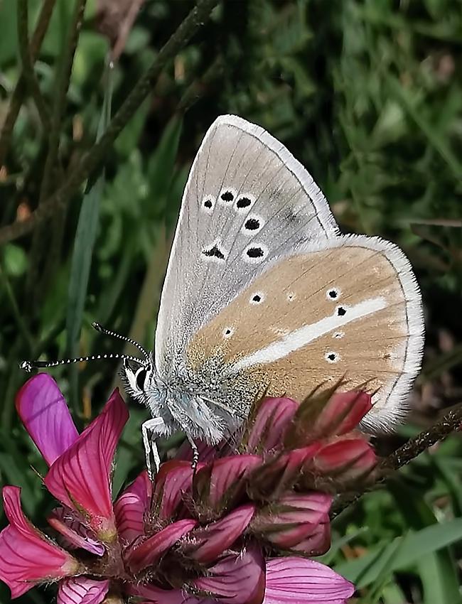 Polyommatus damon