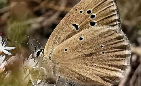 Polyommatus humedasae