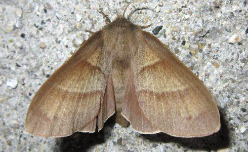 Macrothylacia rubi